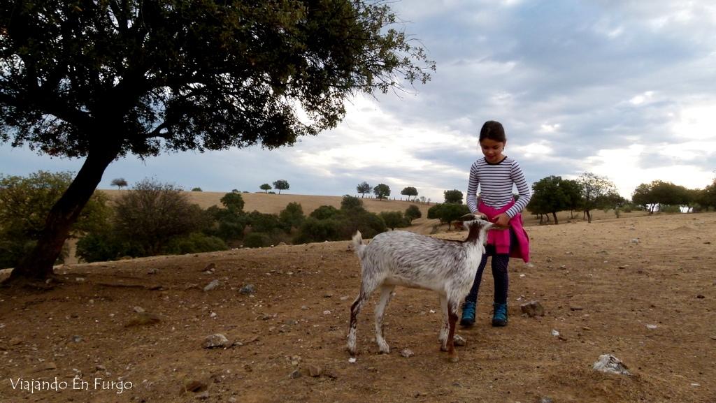 Cabra en El Rañal