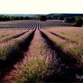 Y los campos se tiñeron de morado: lavanda en Brihuega